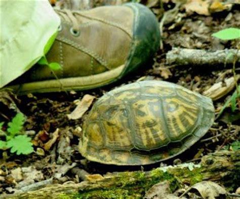 weedpicker s journal baby box turtle