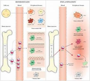 Schematic representation of monocyte and macrophage ...