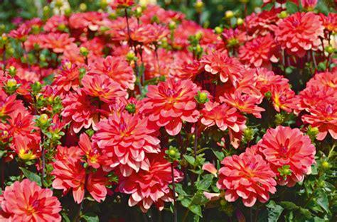 fleurs jardin o 249 visiter un jardin de dahlias dahliacolor