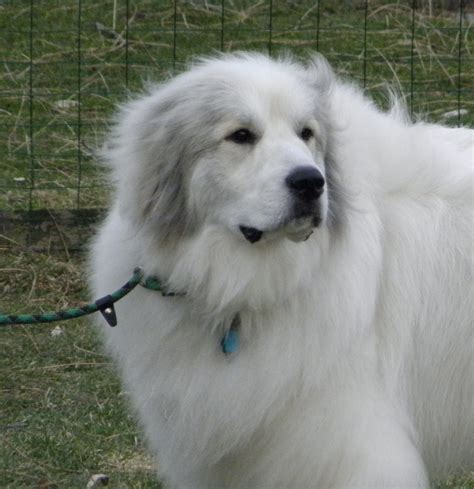 100 great pyrenees non shedding great pyrenees spotters these tips and tricks for