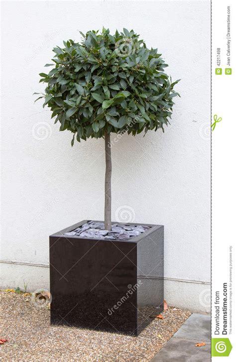 bay tree in cube pot stock photo image 42217498