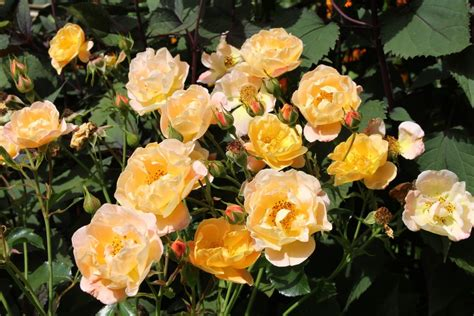 Rosa Flower Carpet Amber = 'noa97400a' (gc) Oxi Fresh Carpet Cleaning Reviews Charlotte Nc High Traffic Cleaner How Do I Get Red Wine Out Of A Cream Riverside Business To Lay With Knee Kicker Indoor Outdoor On Deck Best Kept Secret Tucson Az Taylor One Palm Beach Blvd