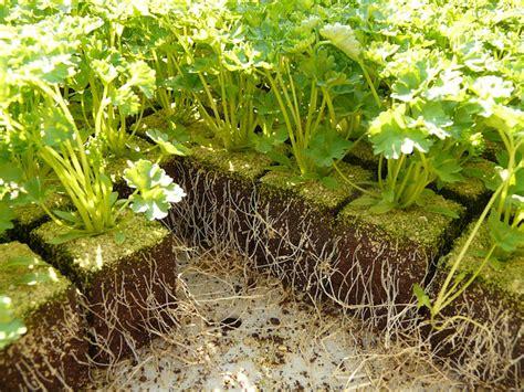 quand et comment semer du persil r 233 ussir semis de persil