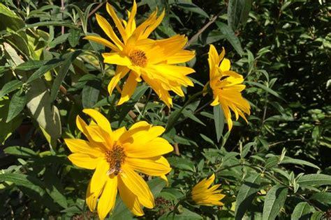 Topinambur Kleine Sonnenblumen Pflanzen Und Ernten