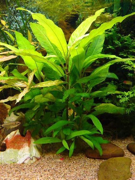 vends plante 224 croissance rapide hygrophila corymbosa 95