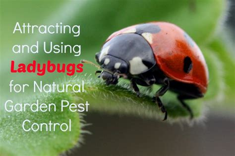 Using Ladybugs For Garden Pest Control  The Healthy Home