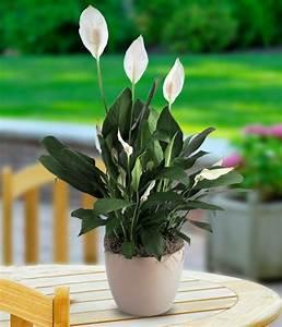 Große Zimmerpflanzen Pflegeleicht : pflegeleichte zimmerpflanzen jeder raum verdient sch n auszusehen ~ Markanthonyermac.com Haus und Dekorationen