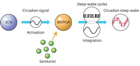 Sleep Wake Cycle by Neurotransmitter Serotonin Shown To Link Sleep Wake Cycles