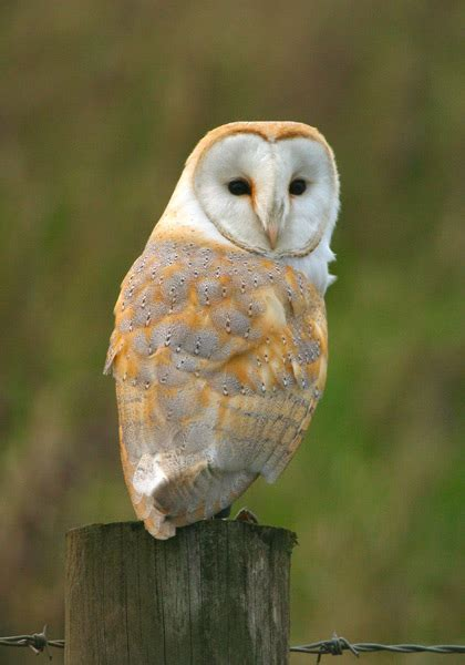 barn owl for barn owl high definition wallpapers cool nature wallpapers