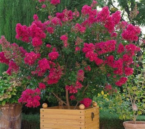 lila des indes terrasse jardinage solene loup photos club doctissimo