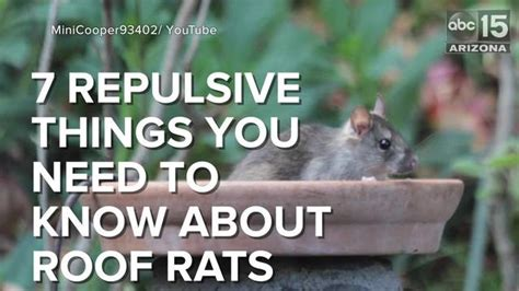 7 Repulsive Things You Need To Know About Roof Rats How Much Is Steel Roofing Hail Damage On Roof Rack Subaru Outback Pabco Tacoma Wa Emergency Repair San Antonio All Repairs Shingle Samples Red Inn Gaithersburg Maryland