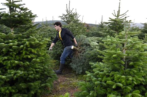 How To Buy A Real Christmas Tree
