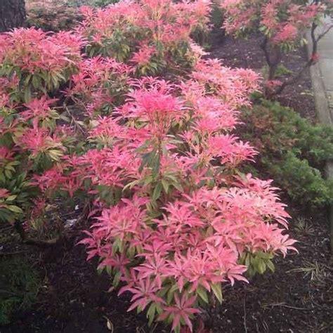 les 25 meilleures id 233 es concernant arbustes 192 feuillage persistant sur arbustes