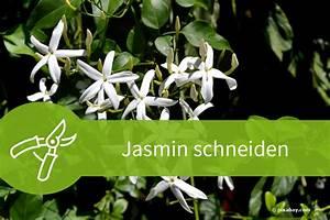 Jasmin Zimmerpflanze Pflege : jasmin schneiden regelwerk f r den echten falschen und winterjasmin ~ Markanthonyermac.com Haus und Dekorationen