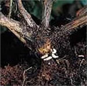 Larven In Der Erde : baumschule hachmann leidenschaft rhododendron barmstedt s d holstein dickmaulr ssler ~ Markanthonyermac.com Haus und Dekorationen