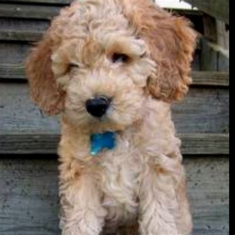 cockapoo they don t shed i want one lenny pups poodles best dogs and sheds