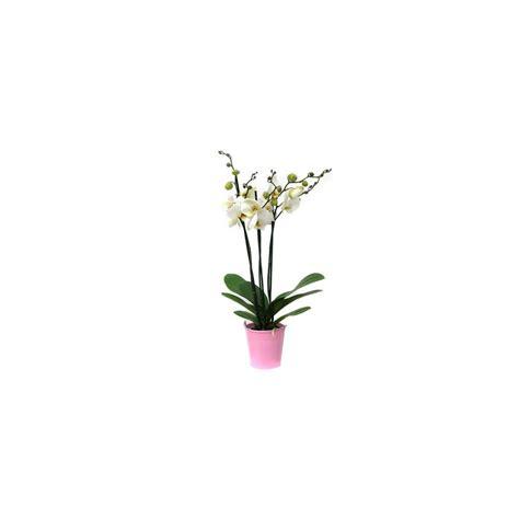 orchid 233 e phalaenopsis blanche en fleurs 3 hes florales cache pot plantes et jardins