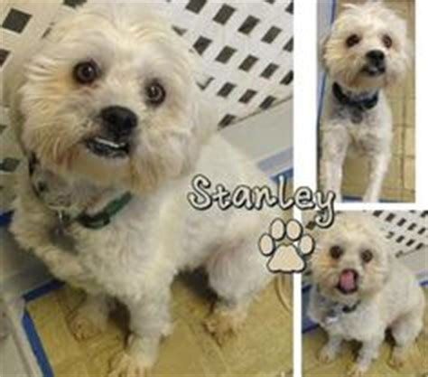 Non Shedding Small Dogs For Adoption by 1000 Images About Non Shedding Dogs On Shih