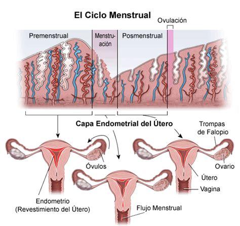 dangus ciclo menstrual una visi 243 n general