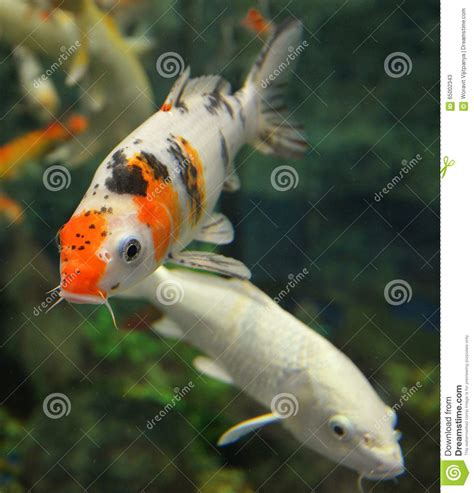 orange white koi carp stock photo image 65002343