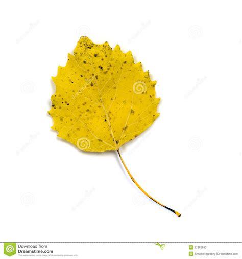 feuille jaune de peuplier blanc d isolement sur le blanc photo stock image 52382893