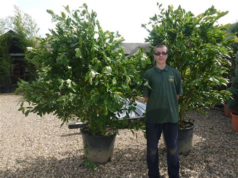 magnolia stellata 2 5 metres 8 2ft inc pot height 50 litre pot perfection plants