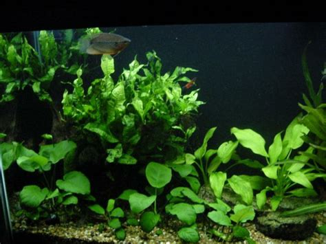 low light aquatic plants search aquarium plants
