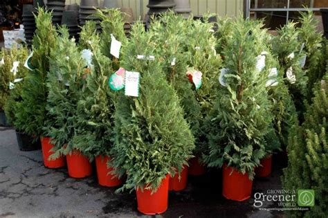 Choosing A Live Christmas Tree-growingagreenerworld.com