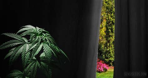 comment forcer la floraison du cannabis cultiv 233 en ext 233 rieur sensi