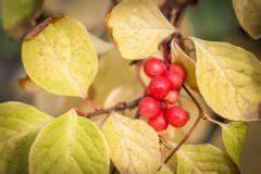 Lorbeer Gelbe Blätter : magnolie bekommt braune bl tter woran kann 39 s liegen ~ Markanthonyermac.com Haus und Dekorationen