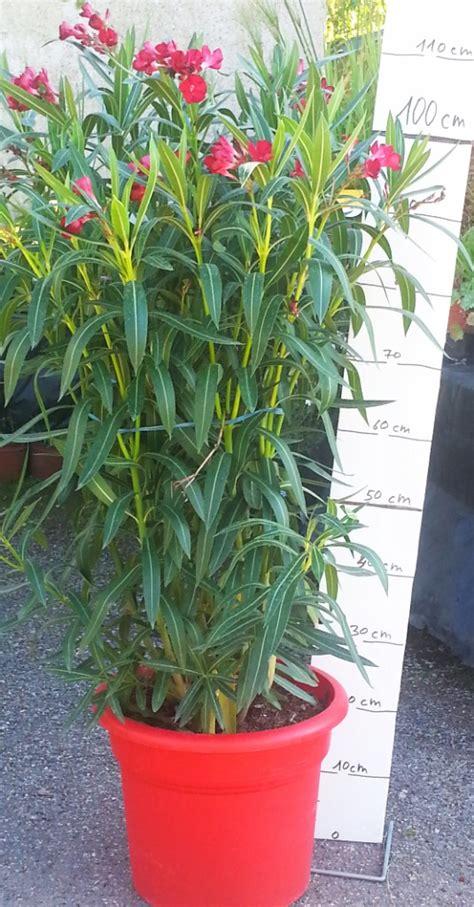 plantes m 233 diterran 233 ennes jardinerie p 233 pini 232 re 31270 villeneuve tolosane