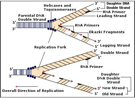 The Leading Strand Template Forms A Priming Loop by Dna Replication Biology Tutorvista