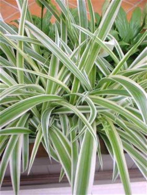 hlorofitum u saksiji sobno cveće ukrasno bilje nega održavanje cvećarstvo