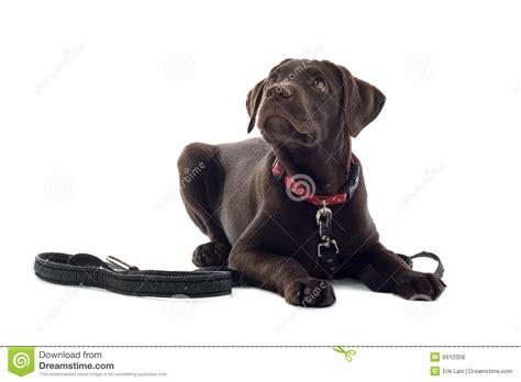 german shorthaired pointer vs labrador retriever breeds picture