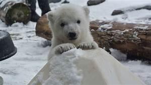 Was Wiegt Schnee : so s dieses eisb ren baby sieht zum ersten mal schnee news viva ~ Whattoseeinmadrid.com Haus und Dekorationen