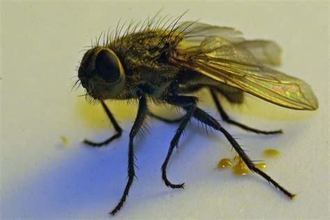 des mouches dans la maison que faire