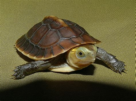 golden box turtles for sale from the turtle source