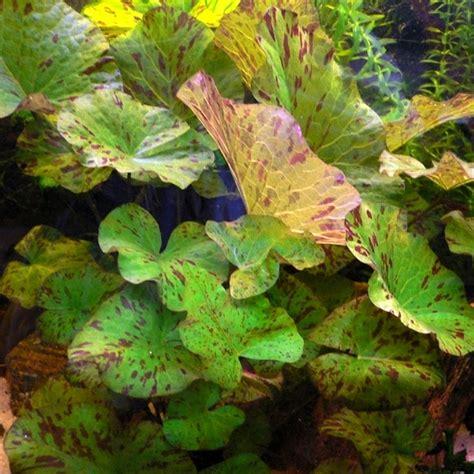 avis nymphea tigerlotus plante d aquarium livr 233 e en bulbe avec jeunes feuilles plantes d