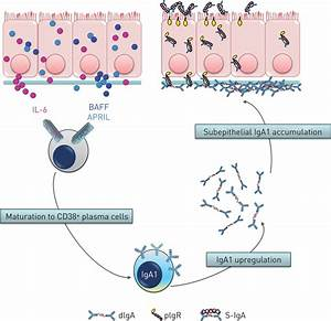 Increased IgA production by B-cells in COPD via lung ...