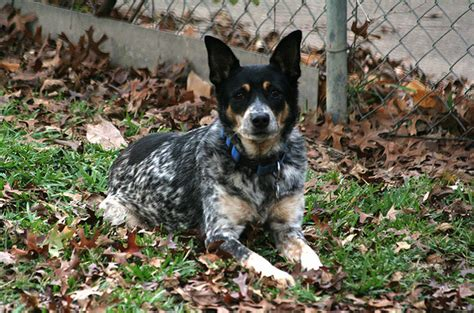 9 do blue heelers shed heeler lab mix breeds picture