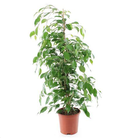 ficus benj exotica tress 233 h90 100cm d20cm plantes vertes d int 233 rieur jardinerie truffaut