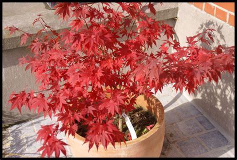 arbres et arbustes erable du japon