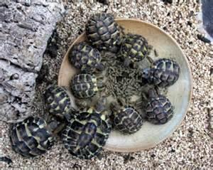 plan de sauvegarde de la tortue d hermann dans le var les nouvelles sont bonnes page 3 of 3