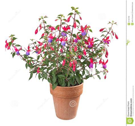 fuchsia plant stock image image of blossom bloom closeup 31125769