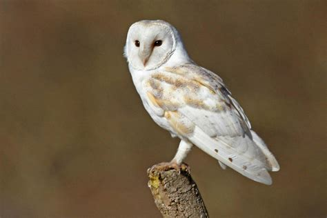barn owl for barn owl facts pictures diet habitat