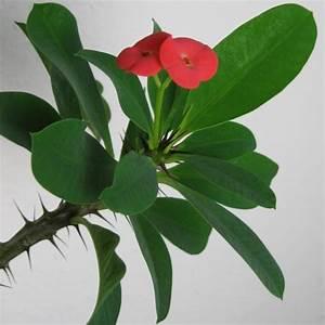 Pflegeleichte Zimmerpflanzen Mit Blüten : christusdorn euphorbia milii eine pflegeleichte zimmerpflanze ~ Markanthonyermac.com Haus und Dekorationen
