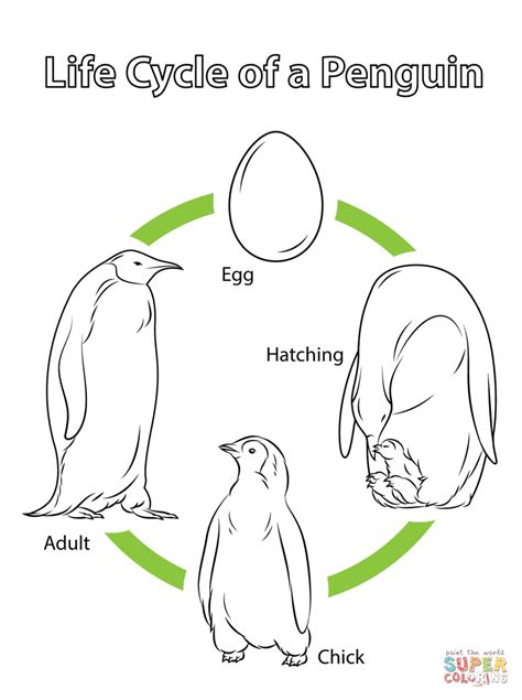Life Cycle Of A Penguin Coloring Page  Free Printable