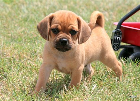 does puggle shed a lot puppies for sale puggle yorkie goldendoodle labradoodle
