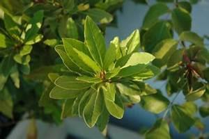 Lorbeer Gelbe Blätter : chinarindenbaum gelbe chinarinde zur chininproduktion und rote chinarinde gegen ~ Markanthonyermac.com Haus und Dekorationen