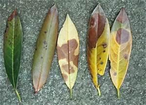 Lorbeer Gelbe Blätter : kirschlorbeer krankheiten und deren ursachen ~ Markanthonyermac.com Haus und Dekorationen